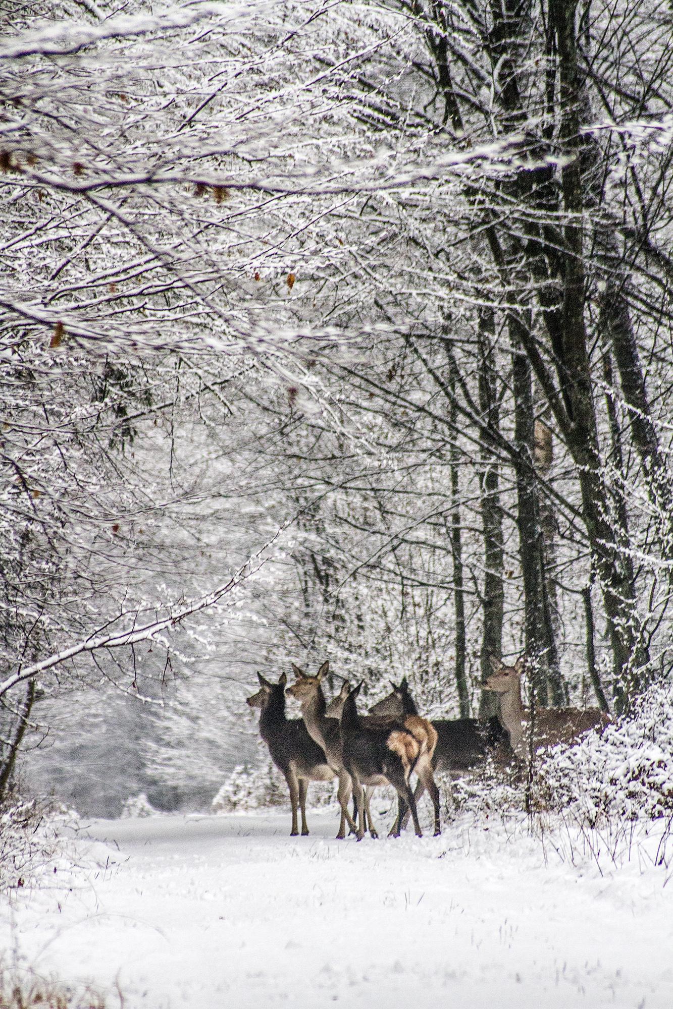 zima puszcza jelenie4