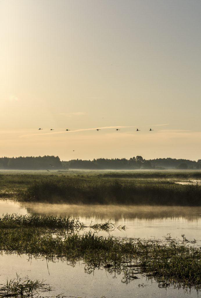 Biebrza 8 czerwca świt ptaki2 692x1024 - Biebrzoterapie